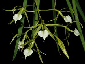 cattleya und verwandte orchideen forum. Black Bedroom Furniture Sets. Home Design Ideas