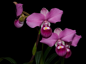 Phragmipedium kovachii